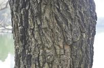 盆架子树干纹理