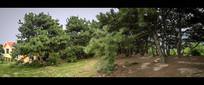 山顶的松树林