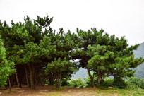 松树林风景图