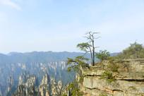 张家界砂岩峰林山顶的一颗松树