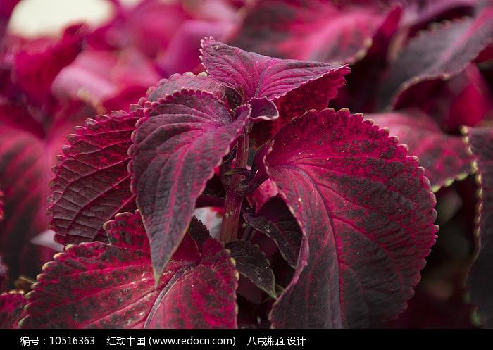 紫黑色五彩苏图片