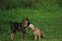 两只草坪上玩耍的狗狗
