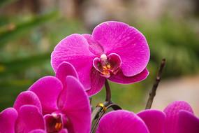 盛开的蝴蝶兰