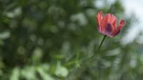 盛开的野生罂粟