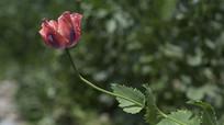 盛开的野生罂粟单瓣花侧面