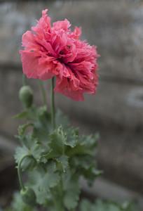 野生罂粟多瓣花朵侧面