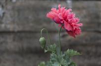 野生罂粟多瓣花朵侧面横构图
