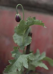 野生罂粟多瓣花朵侧面花骨朵