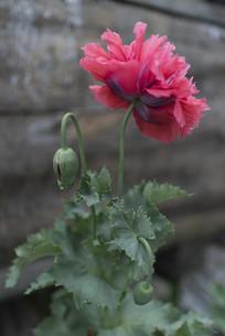 野生罂粟多瓣花朵侧面竖构图