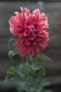 野生罂粟多瓣花朵正面竖构图