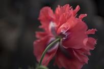 野生罂粟多瓣花花朵背面