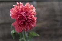 野生罂粟多瓣花花朵正面