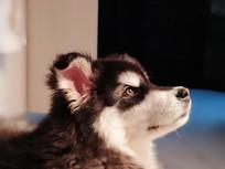 阿拉斯加幼犬