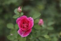 红色月季花