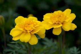 黄色的孔雀草花