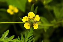 黄色的路边青小花