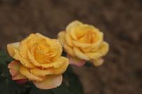 两朵黄月季花