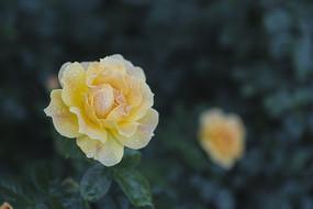 一朵淡黄色月季花