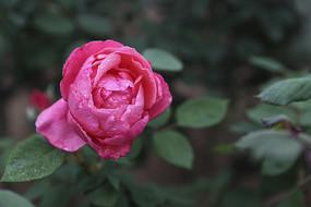 一朵粉红色月季花