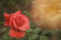 一朵红月季花