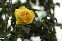 一朵黄月季花