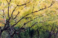 枫叶黄的时候