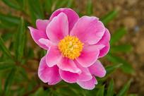 粉红色的芍药