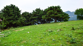 绿色草地和松树林