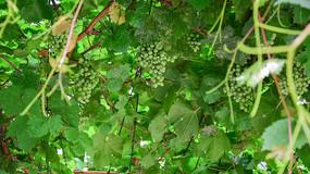 绿色的葡萄