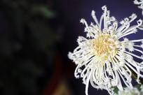 毛刺型菊花