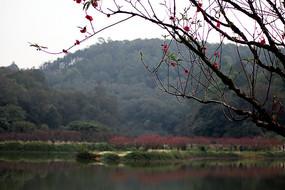 南国桃园的桃花谷