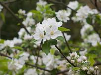 白色的苹果花