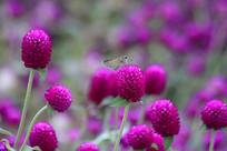 蝴蝶与千日红