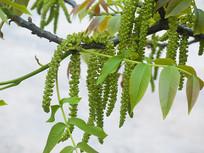 胡桃树花期