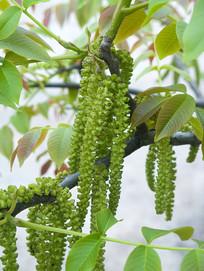 胡桃树下垂的花序
