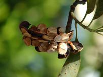木兰科植物深山含笑的聚合果