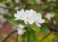 苹果花盛花期