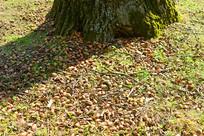 公园草地上掉落的橡子