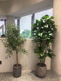 琴叶橡皮树盆栽