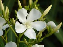 白花夹竹桃花朵特写