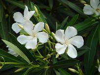 白花夹竹桃盛花期