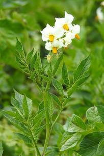 白色马铃薯花