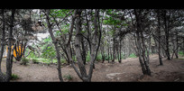 电影质感松树林风景