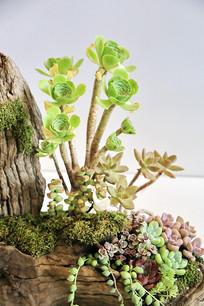 多肉植物盆景