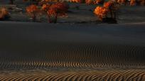黄昏的胡杨树