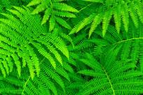 绿色养眼蕨草植物