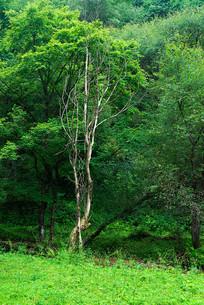 绿树林中的枯树