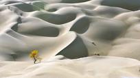 一颗金色胡杨树的沙漠