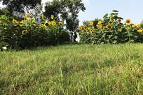 草地向日葵