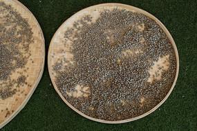 簸箕嗮咖啡豆